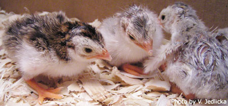 Newly hatched Guinea Fowl Keets