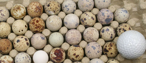 Japanese Quail Eggs and a Golfball - 4-H Embryology