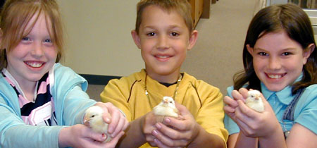 Hatching Chick Photos - 4-H Embryology