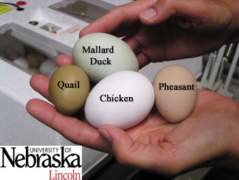http://lancaster.unl.edu/4h/Images/Embryology/Photos/Quail_Pheasant/Eggs_PheaDuckChickQuail.jpg
