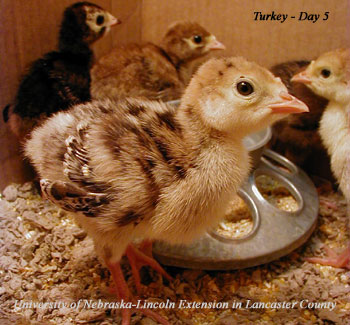 Other Bird Photos - Lancaster County 4-H Embryology ...