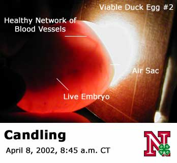 Duck Embryo Stages http://lancaster.unl.edu/4h/embryology/candlingphotos.shtml