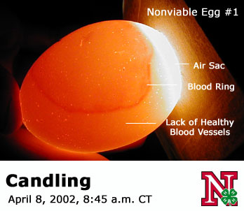 please post pictures of bad eggs during candling!
