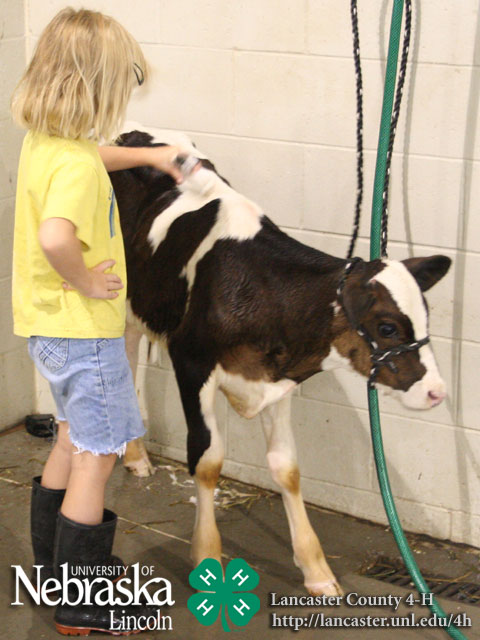 4-H Bucket Calf Photos - 2009 Lancaster County Fair ...  |Bucket Calves