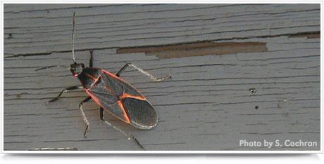 Boxelder Bug Photo