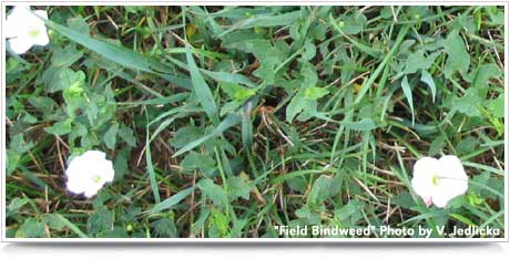 Field Bindweed - Weed Management