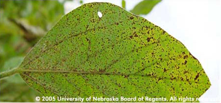 Soybean Rust Diseas