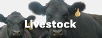 Photo: Angus Cattle. Production Agriculture