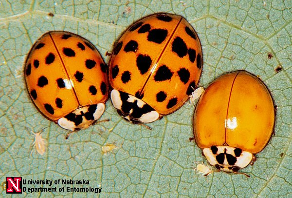 Asian lady bird beetles