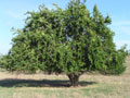 Osage-Orange Tree - Click on Image for Larger View