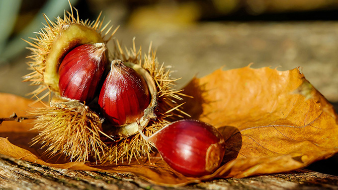 American Chestnuts - Photo Pixabay