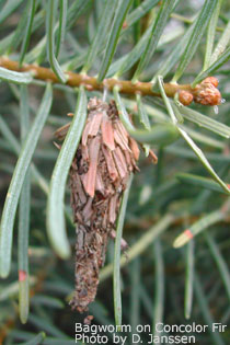 Bagworm Close - on a Concolor Fir