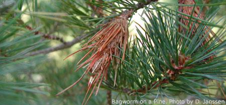 Bagworm on a Pine