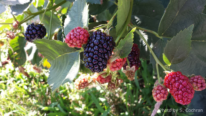 how to grow goji berries site youtube.com