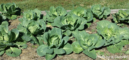 cabbage in a fall garden - Fall Garden Plant