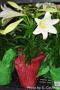 Choosing an Easter Lily