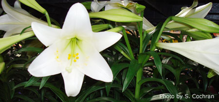 Easter Lily Care Nebraska Extension In Lancaster County