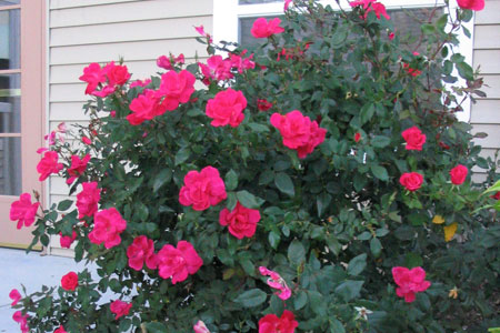 Shrub Roses Nebraska Extension In Lancaster County