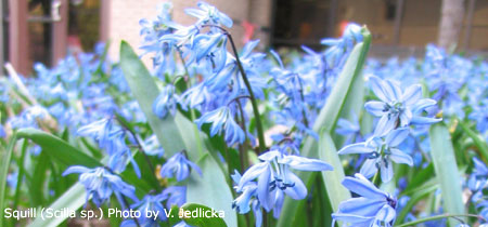 Liven up your spring bulb show otherspringbulbs nebraska squill in bloom mightylinksfo