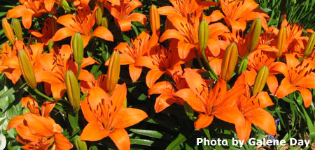 Lilies Bring Summer Color To Your Garden Truelily Nebraska