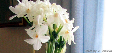 Forcing paper white narcissus paperwhite nebraska extension in paper white narcissus mightylinksfo