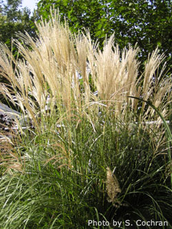 Ornamental grasses in the landscape ornamentalgrass for Landscaping grasses varieties