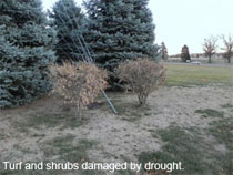 Turf and shrubs damaged by drought