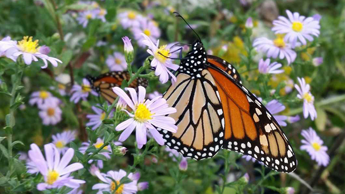 Plants for Pollinator - MJ