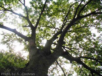 Haiku Example - Tall beautiful trees