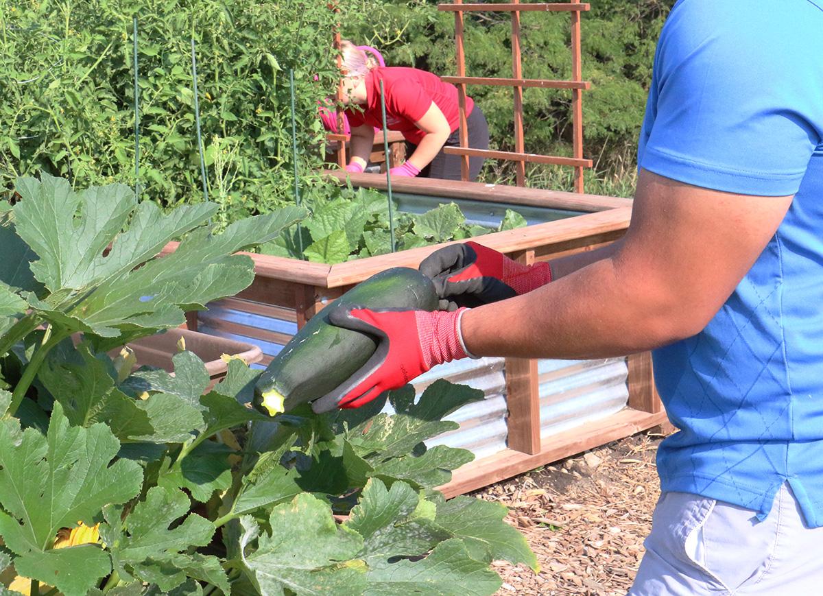 person picking zucchini