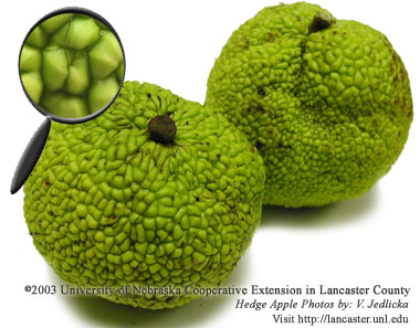 Hedge Apples - The Fruit of an Osage-Orange Tree