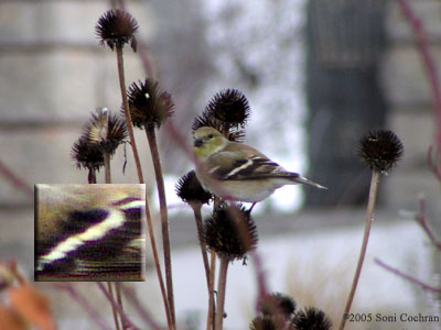 American Goldfinch feeding on flowers