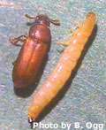 Red Flour Beetle and Larvae