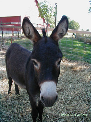 Charlie the Miniature Donkey
