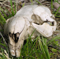 Beaver Skull - photo by S. Cochran
