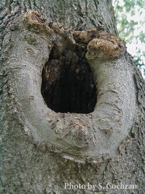 Wildlife Cavity in a Tree