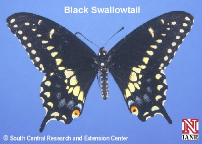 Black Swallowtail Butterfly from SCREC