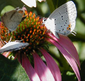 Butterflies visiting a purple coneflower