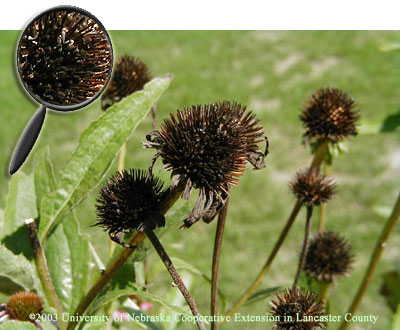 Purple Coneflower Seed Heads and close-up view