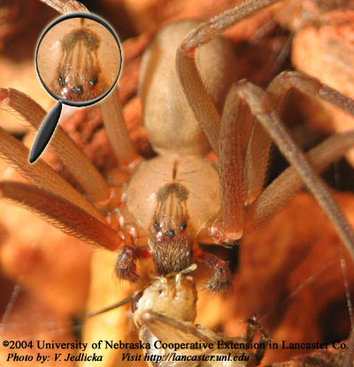 Brown Recluse Spider Feeding on Cricket