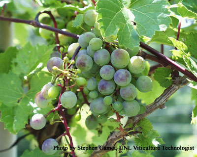 Nebraska Grapes