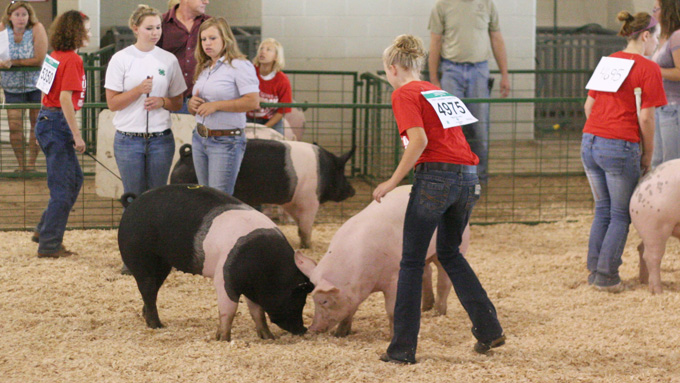 Swine Show at the Lancaster County Fair
