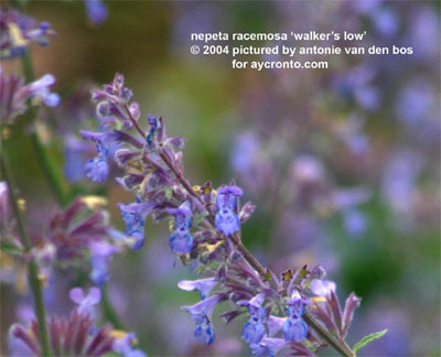 "Nepeta ""Walker's Low"""