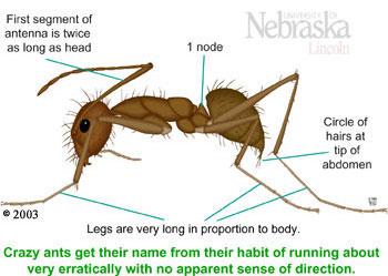 crazy ant control