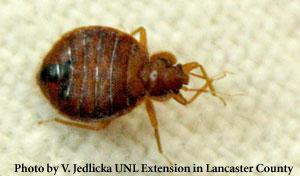 Managing Bed Bugs Nebraska Extension In Lancaster County