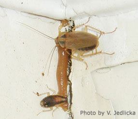 German Cockroaches Nebraska Extension In Lancaster County