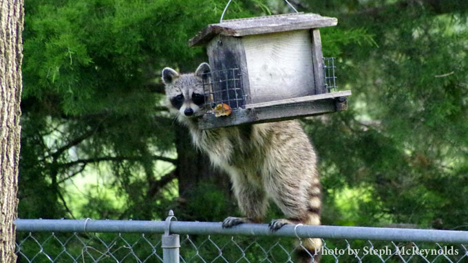 Raccoon on Feeder - Steph McRynolds