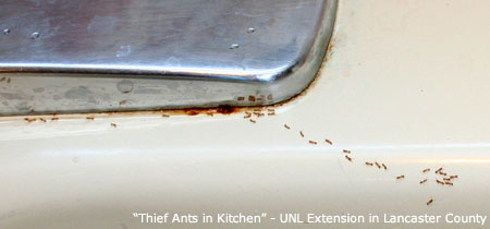 Small Red Ants In Kitchen