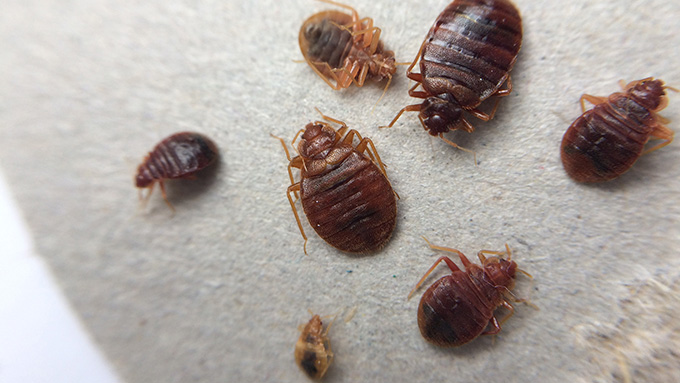 Students And Bed Bugs What To Do After Traveling Nebraska Extension In Lancaster County