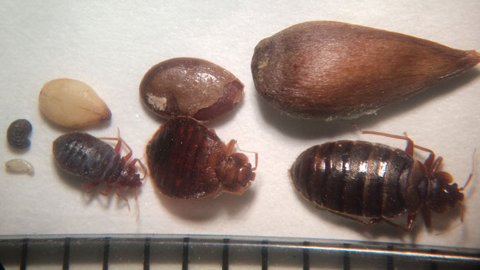 Bed Bug Comparison by life stages - Jody Green